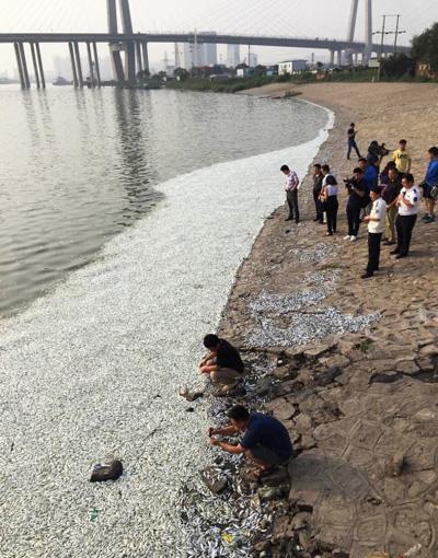 Des milliers de poissons morts au bord de la rivière à 6 km du lieu de la déflagration à Tianjin. Source: South China Morning Post, 21 août