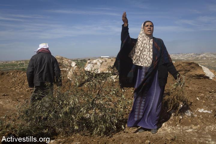 Une femme du village de Susya près d'un olivier coupé par un colon