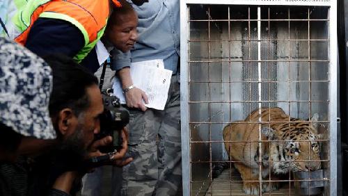 Le tigre «Laziz» lors de son transfert en Afrique du Sud (photo publiée dans Haaretz)